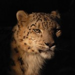 """""""The Snow Leopard's Tale,"""" Reviewed"""